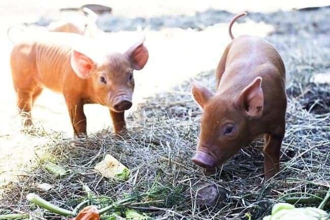 Baby bacon at Hogwash Farm, Norwich, VT   www.foodiewithfamily.com