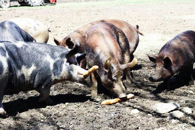 Pigs at Hogwash Farm, Norwich, VT   www.foodiewithfamily.com