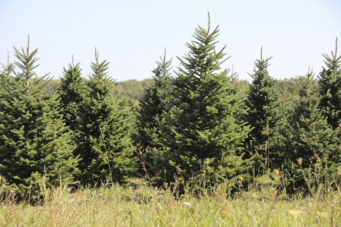 A visit to a real Christmas tree farm: Stokoe Farms in Scottsville, NY.